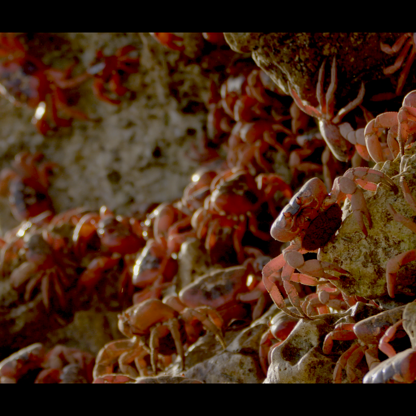 Red Crab migration on rocks
