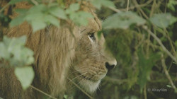 Jungle lions filmed in the wild for the first time!