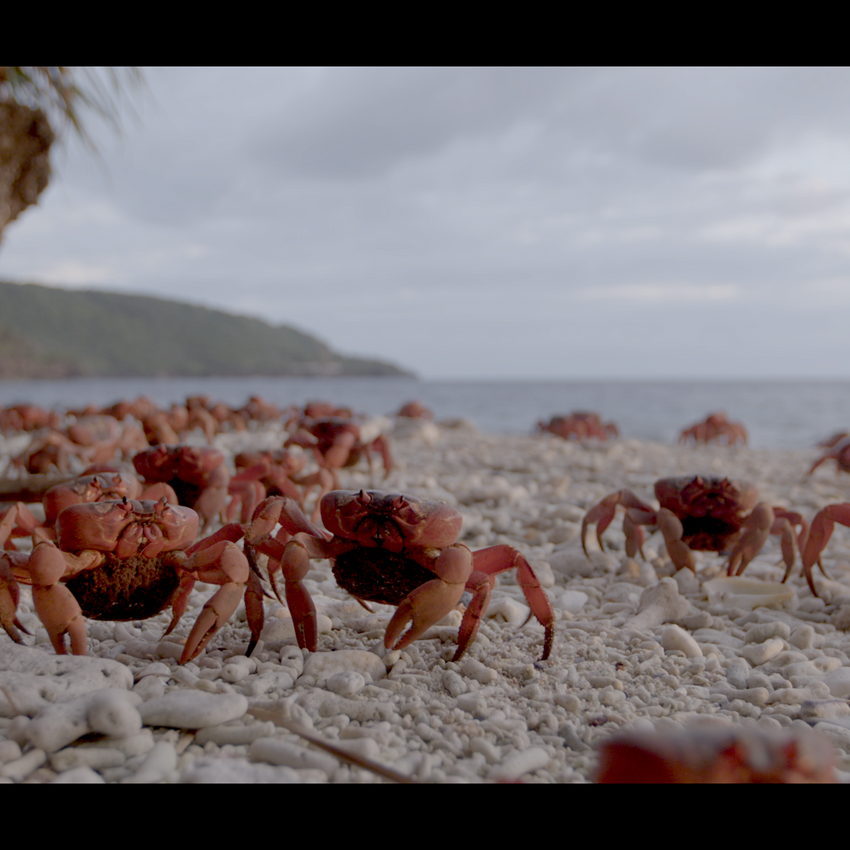 Red crab migration on beach