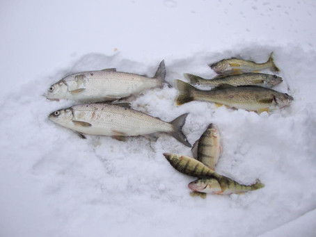Creepy Crawly Bait for Ice Fishing