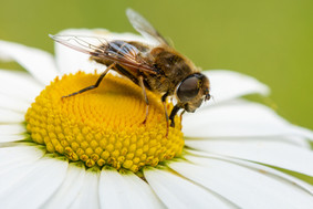 2019RFNHM_PDI_021 - Hoverfly on Daisy by Ted McKee.