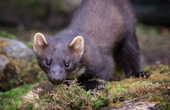 2019RFNHM_PDI_138 - Pine Marten Kit by Ted McKee. Commended