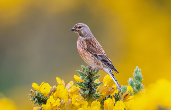 2019RFNHM_PDI_037 - Linnet in the Whins by Ted McKee. Commended