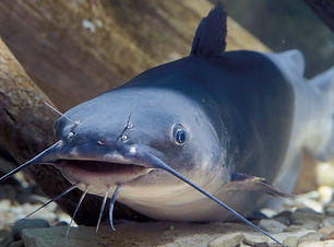 Lou - Blue Catfish.jpeg