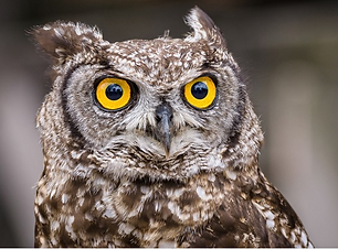 William - Great Horned Owl.png