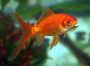 Gary - Goldfish.jpeg