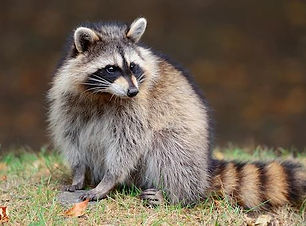June - Raccoon.JPG