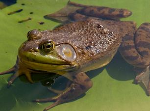 Jerry - Bullfrog.png
