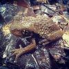 pepper frog