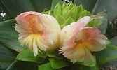 flower of a giant Caña Agria