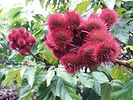Achiote - Bixa Orellana - the lipstick tree!