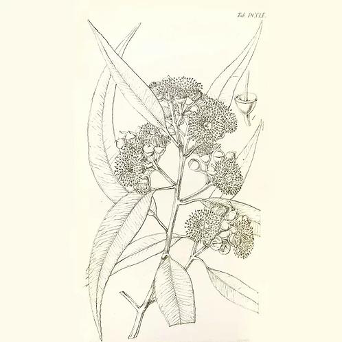 Huile essentielle d'eucalyptus citronnée BIO - 10ml