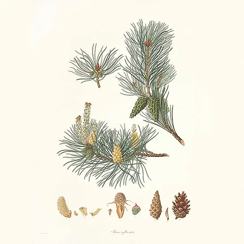 Huile essentielle de pin sylvestre BIO - 10ml
