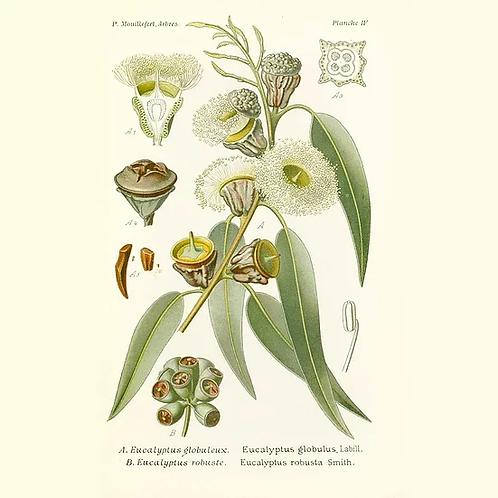 Huile essentielle d'eucalyptus globulus BIO - 10ml