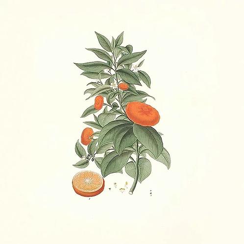Huile essentielle de mandarine rouge BIO - 10ml