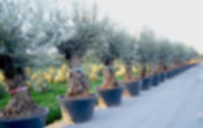 achat olivier.JPG