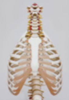 squelette anatomie osteopathie
