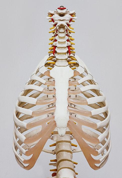 Squelette osseux rachis