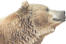 bear%20face_edited.png
