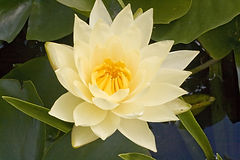 cream lily.jpg