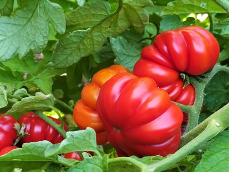Il rosso estivo dei pomodori di Boboli