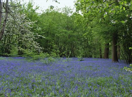 Bluebells: un tappeto per i boschi del Kent
