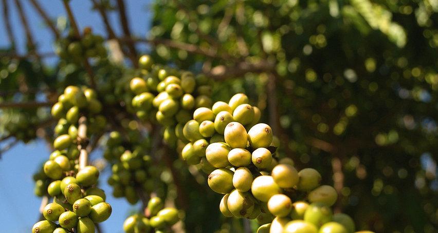 robustacoffee-5385191_1920_edited.jpg