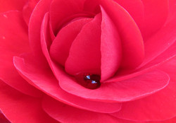 Jameson rose