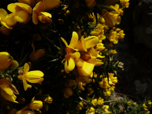Stunning yellow and smelling of coconut., gorse surround Whindley.