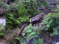 Badgers are shy visitors.