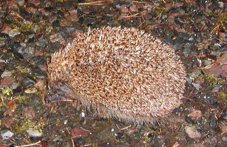 Hedghog coming for peanuts.
