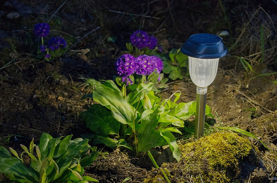 The solar light give a spotlight for two of our favourite plants. The erythronium , sometimes called dog-toothed violets, are not yet in flower but the buds will open any day.