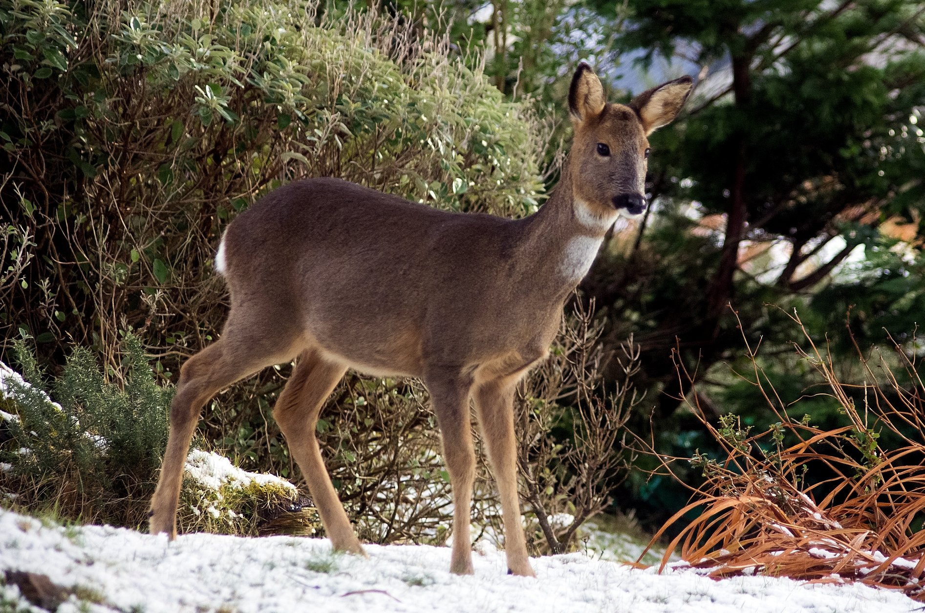 Roe deer browsing in the garden.