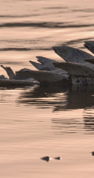 Gharial shoot, Chambal 2018