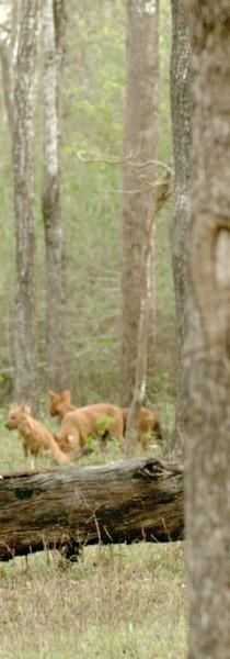 Wild dogs, Kabini
