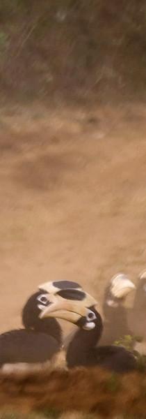 Hornbills dust bathing