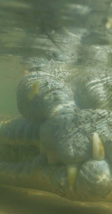Up close. Gharial