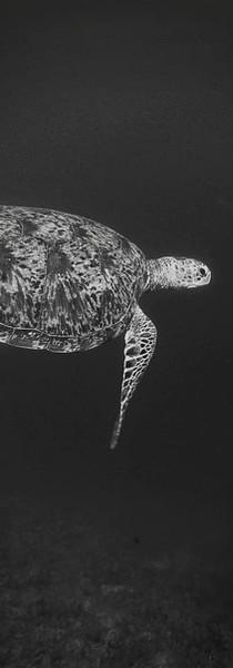 Green turtle- Lakshadweep 2015