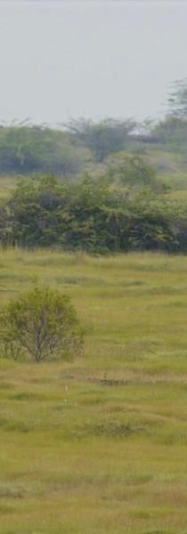Wolves in Grasslands of Maharashtra