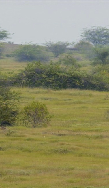Wolves in Grasslands of Maharashtra