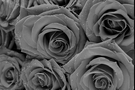 Roses Transparent