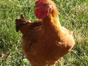 House Chicken