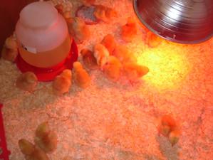 Peep, Peeps at Seedpod Farm
