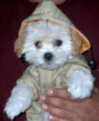 Maltipoo puppy picture