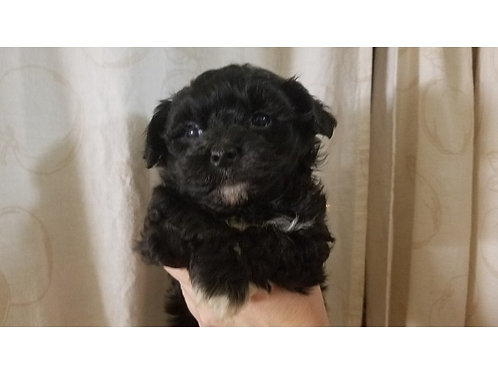 Pup 2- Black and White Male (1200) to reserve is