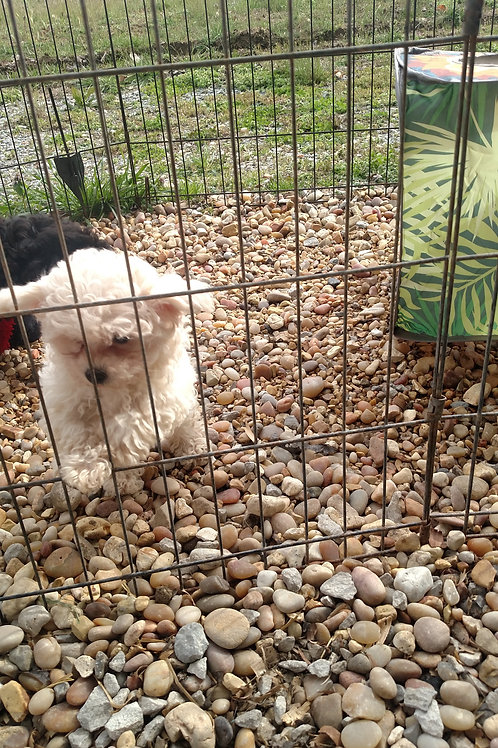 Pup 2- White Female (1200)  to reserve is