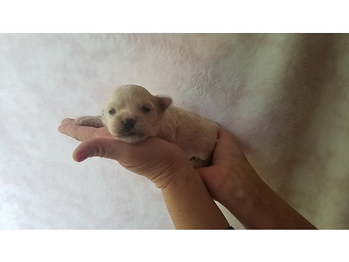 Female Maltipoo ($1200) to reserve is