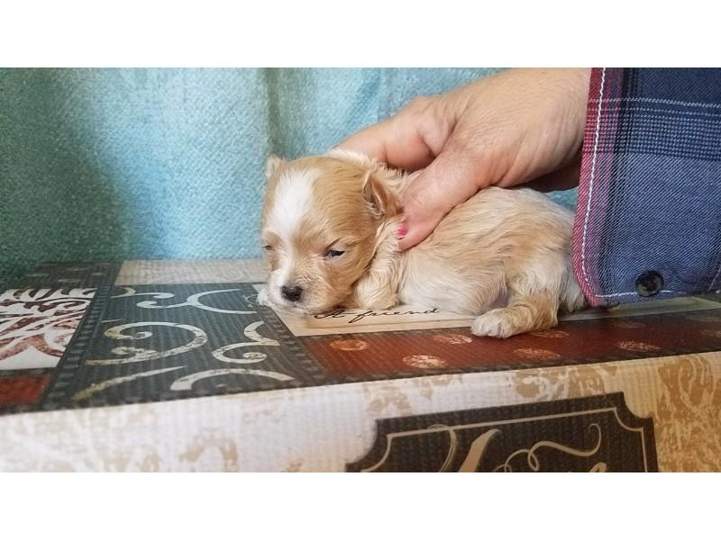 maltipoo puppy pic