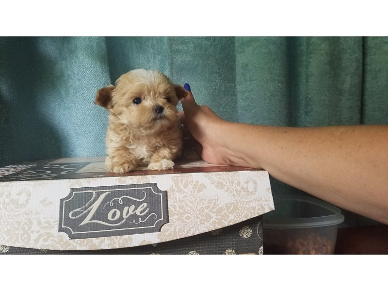 maltipoo puppy at pocketpoos