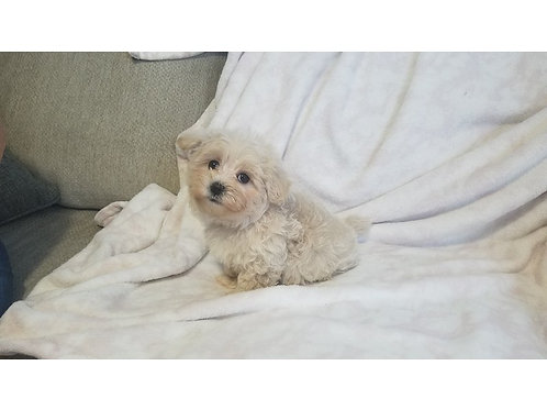 Male Maltipoo ($1200) to reserve is